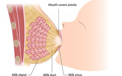 How is breast milk made?